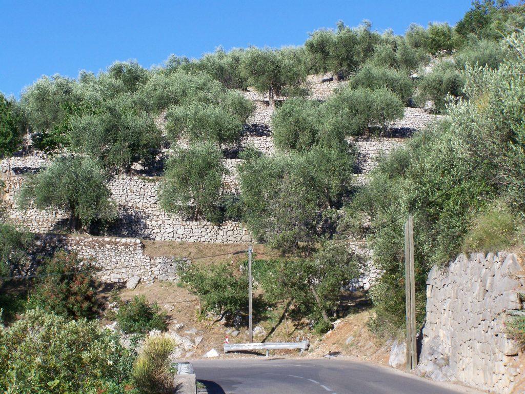 L'huile d'olive : un savoir-faire de Sainte Maxime
